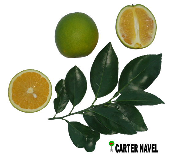 Naranja Carter Navel
