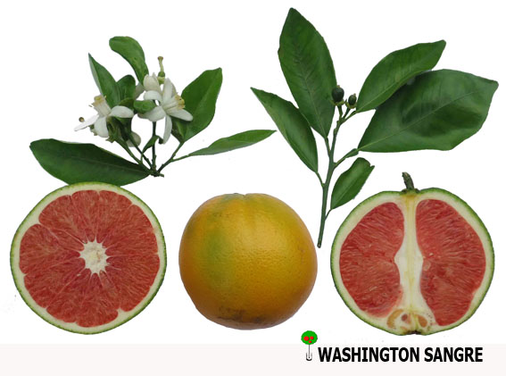 Naranja Washington Sangre